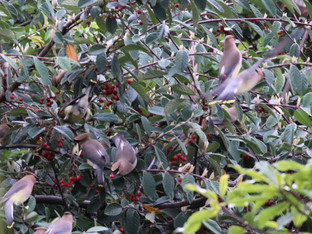 Cedar Waxwings in the morning. Oh my!