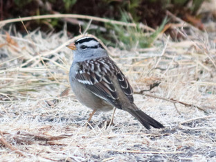 Welcome back, white-crowned sparrows!