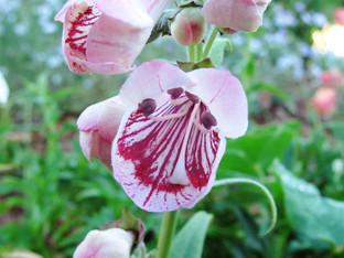 Blooming in the California native garden
