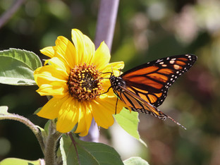 Monarch butterfly visiting Delta sunflower