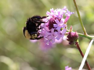 Yellow Faced Bumble Bee and the Verbena De La Mina