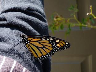 More monarchs