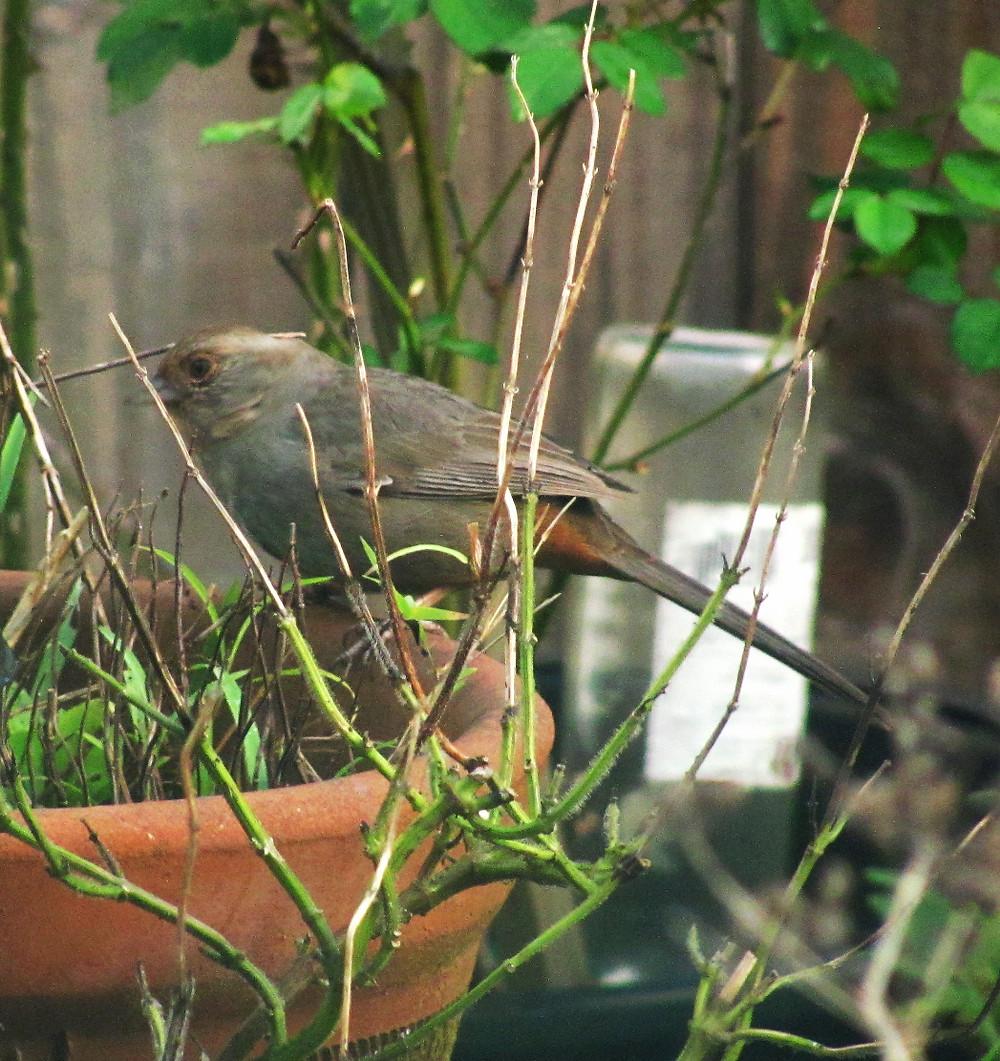 towhee hunting for nest material_edited.JPG