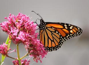Mamma Monarchs