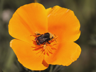 Yellow faced bumble bee in a California poppy