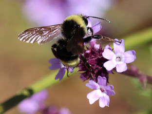 California Bumble Bee on a De La Mina Verbena blossom
