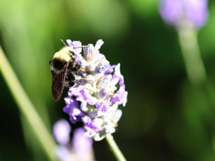 Yellow-faced bumble bee enjoying the lavender