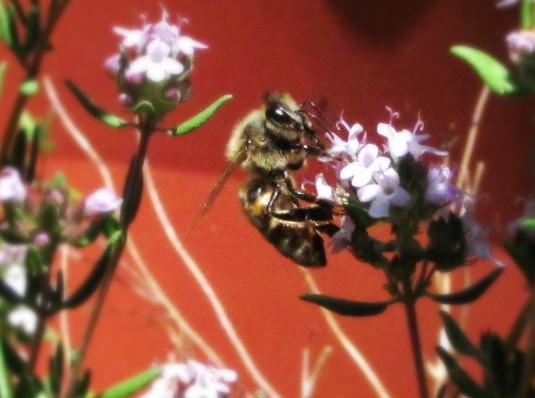 honey bee in thyme 3_edited.JPG