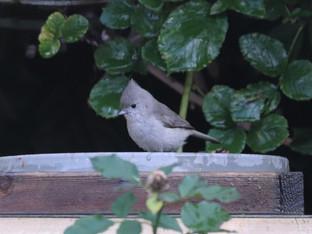 Oak Titmouse in the Birdbath