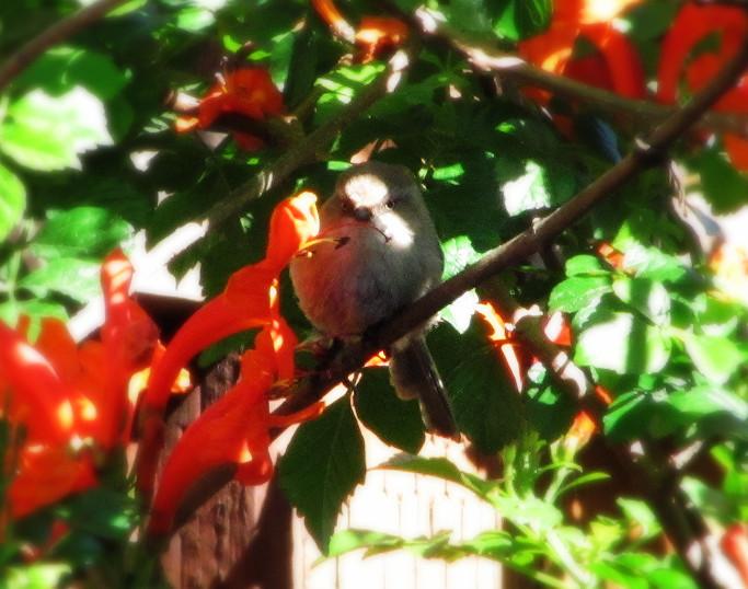 bushtit eating cape honeysuckle blossoms_edited.JPG