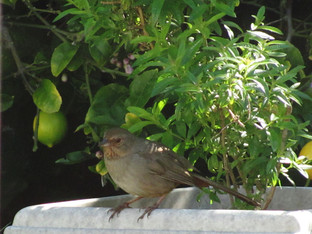 California towhee and the lemon verbena plant