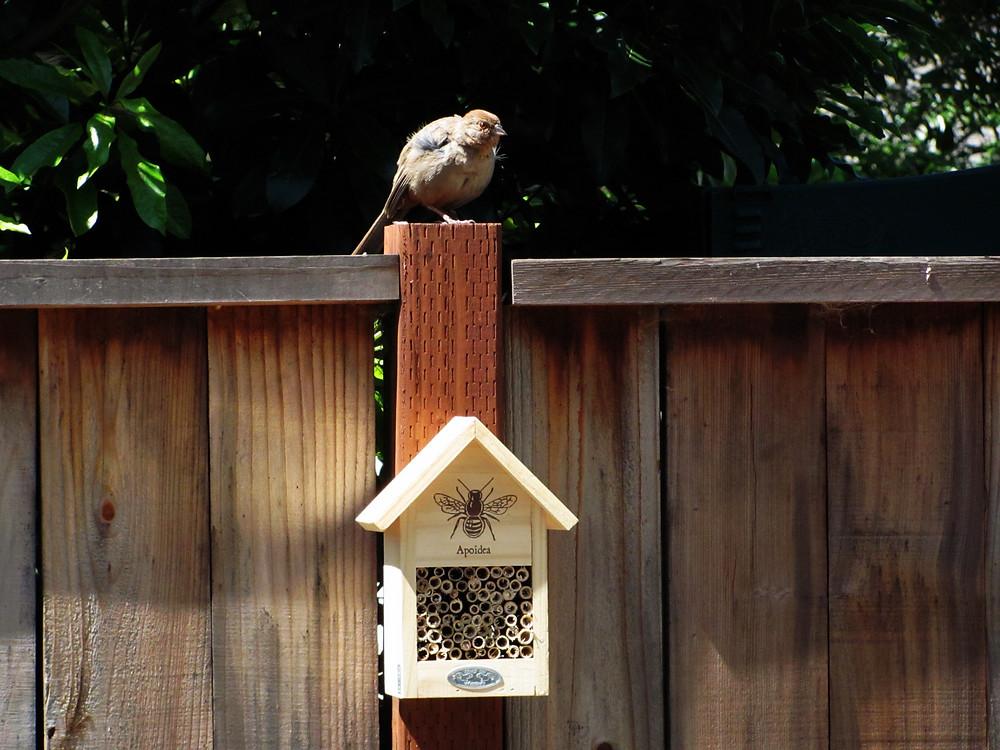 towhee fledgling and bee house 2_edited_edited.JPG