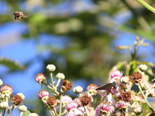 Honey Bee and California Hairstreak feasting on blackberry nectar