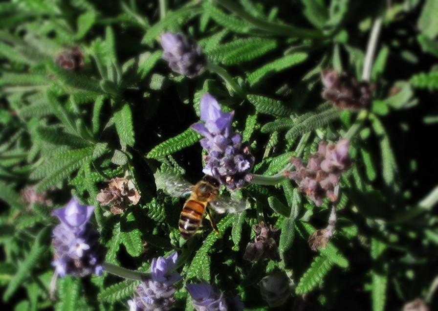 honeybee in lavender_edited.JPG