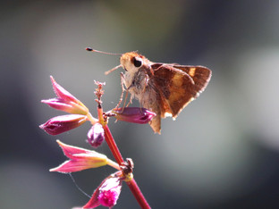 The friendly Umber Skipper