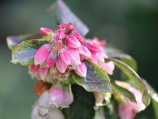 Sunshine Blueberries in the Rain
