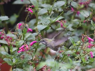 Anna's hummingbird in the drizzle