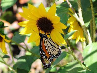 mama monarch butterfly?