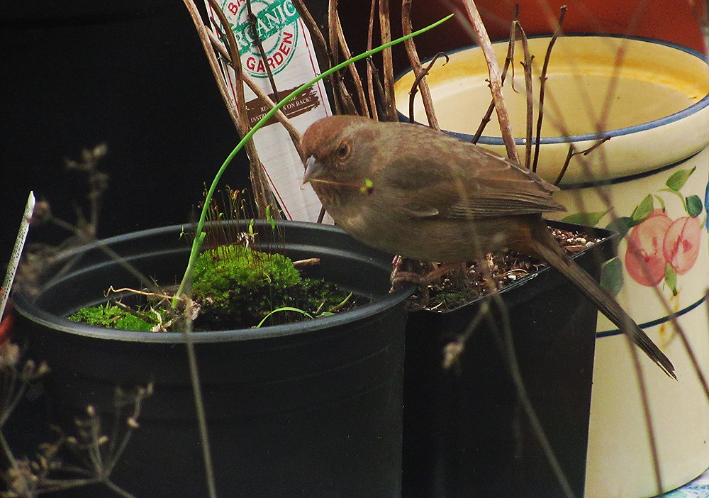 and California towhee picks moss sprout_edited.JPG