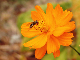 Hover flies and cosmos blossoms