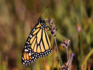 Still releasing monarchs