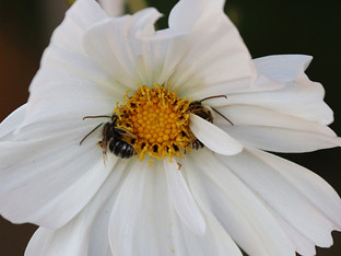 Bees in the Cupcake White Cosmos