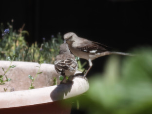 Hungry Northern Mockingbird Fledgling, Mama and the Blueberries