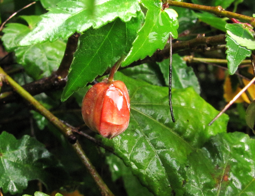 abutilon bud after the rain_edited.JPG