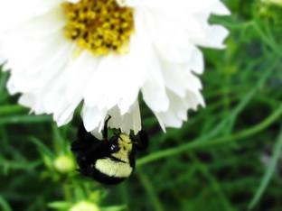 Yellow Faced Bumble Bee sleeping