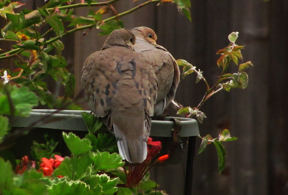 two mourning doves profile on bird bath_edited.JPG