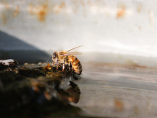 Bees need a water source, too