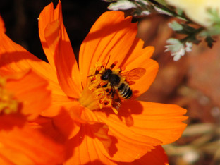 Leaf Cutting Bees in the garden