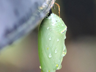 Monarch chrysalides after the rain