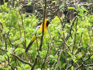 Ooh, the hooded orioles are here!