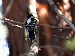 Nuttall Woodpecker female in the Redwood Tree