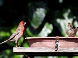 House finches at the bird bath