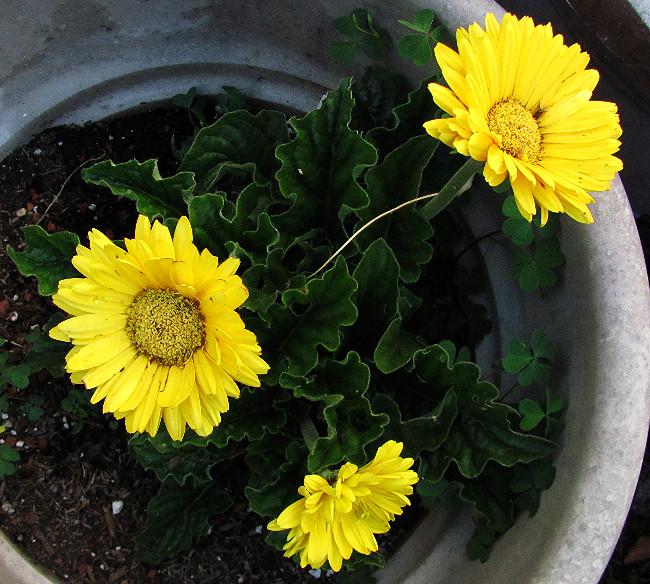 yellow zinnias_edited.JPG