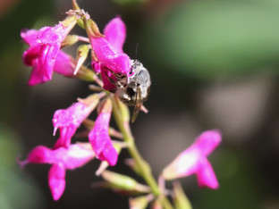 Bees on the Chiapas Sage