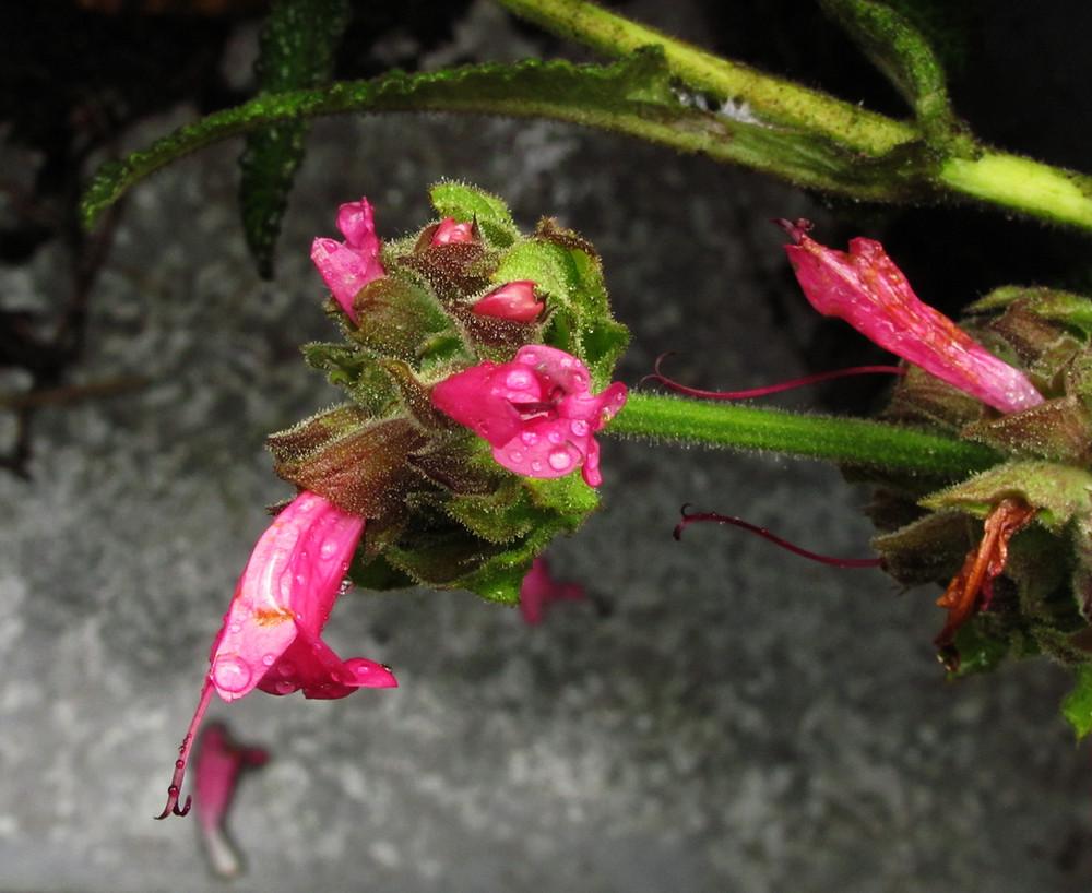 hummingbird salvia after the rain_edited.JPG