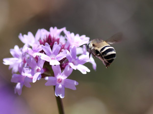 Ivory Banded Digger Bee - first featured star of Pollinator Week