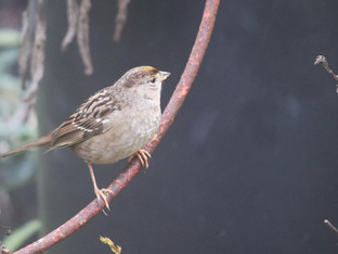 Golden Crowned Sparrows visiting