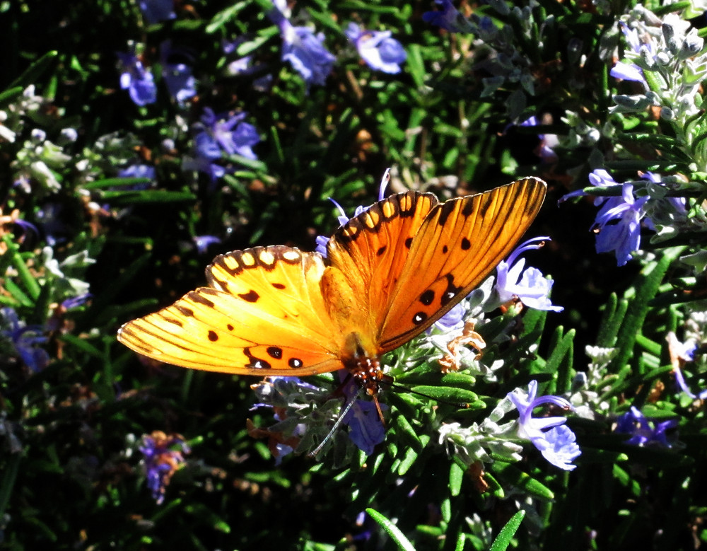 Gulf fritillary butterfly e_edited.JPG