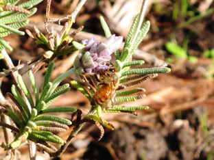 Honey Bee on the lavender plant
