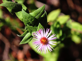 Climbing Carolina Aster in bloom