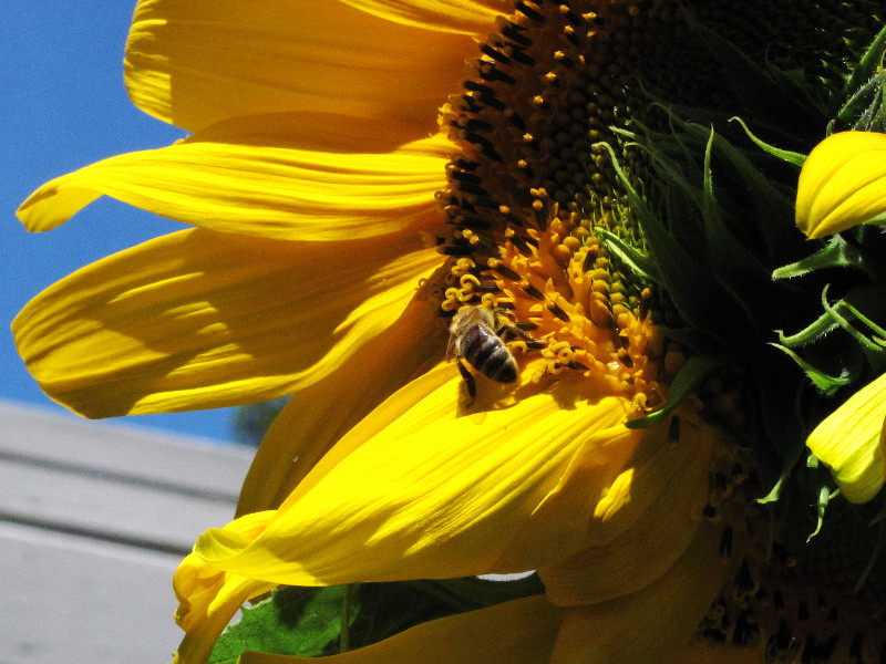 honey bee in mammoth sunflower 1_edited.JPG