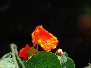 Nasturtiums in September