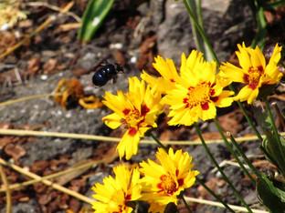 California Carpenter Bee visiting Coreopsis Grandiflora patch