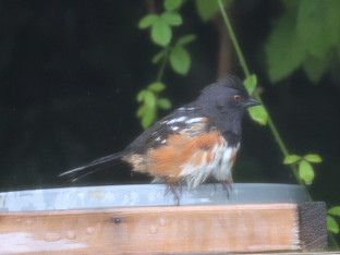 A Spotted Towhee at the birdbath