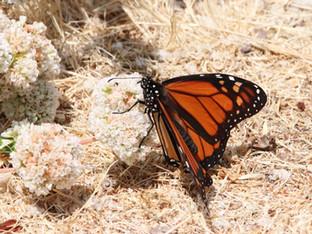 Saving the Monarchs