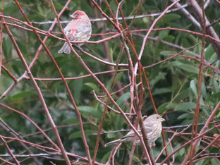 House finches hanging out